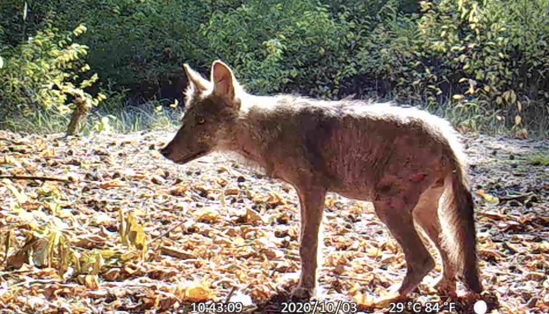 Martwy wilk odnaleziony w Swarzędzu